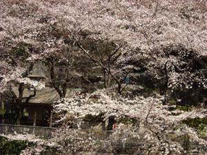 20110405sakura1