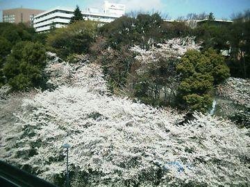 20060331sakura