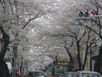 20080330sakura