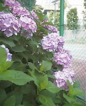 滝野川コートの紫陽花