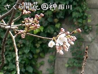 20100319sakura