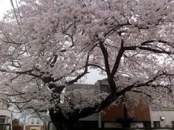 20110409sakura