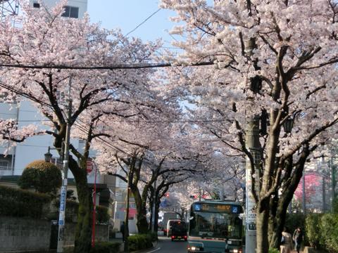大泉学園桜並木通り