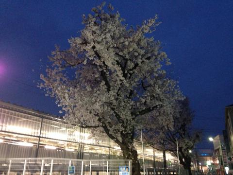 夜桜?朝桜?