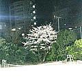 竹早コートの桜