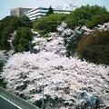 桜満開@江戸川橋